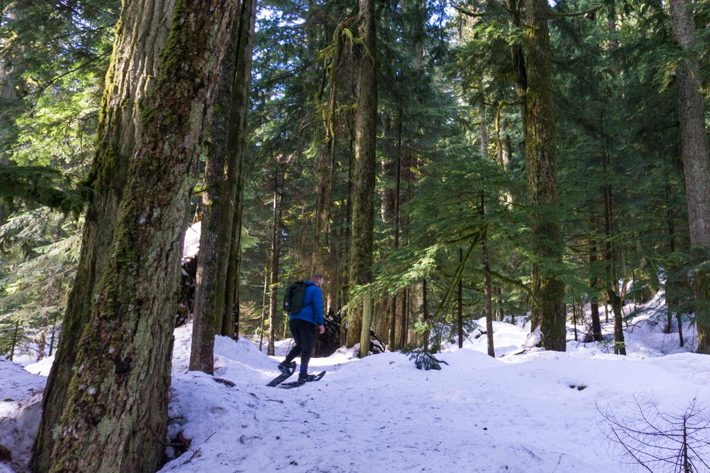 A snowshoer walking through large trees