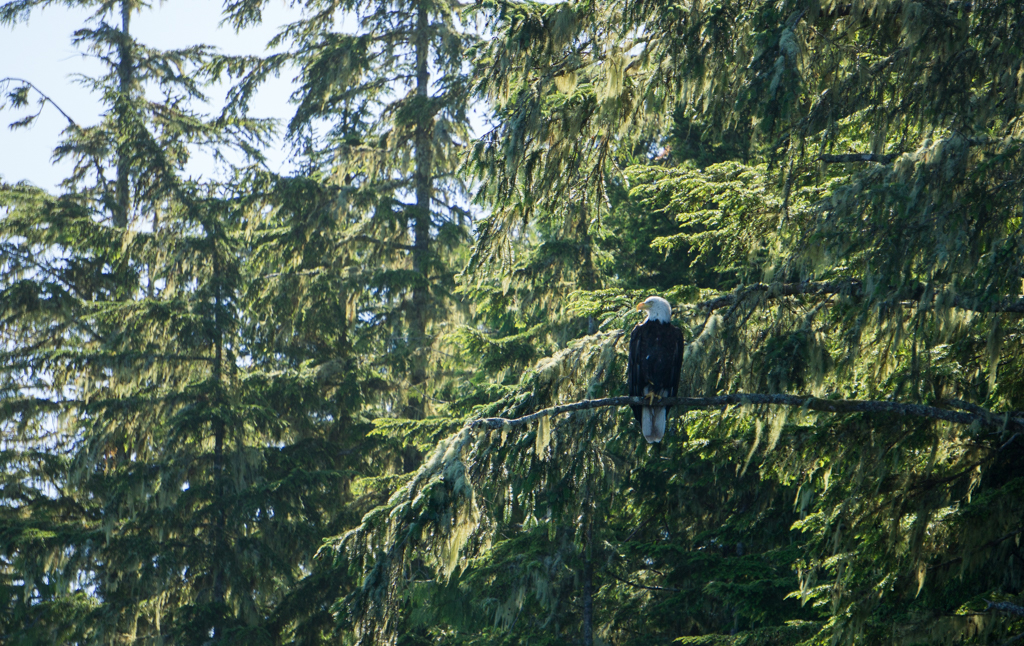 An eagle sitting in a cedar tree in the Broughton Archipelago in British Columbia