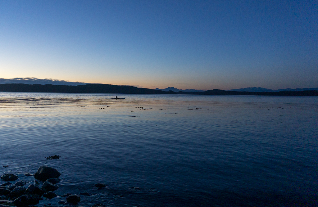 An orca swimming at sunset at Kaikash Creek in the Johnstone Strait