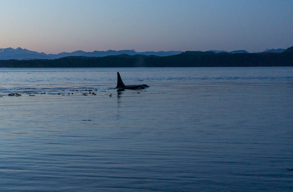 Orcas swimming at sunset in the Johnstone Strait on Vancouver Island