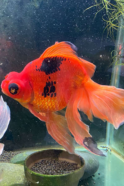 Monstro the goldfish back to full health