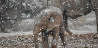 Baby elephant experiences snow