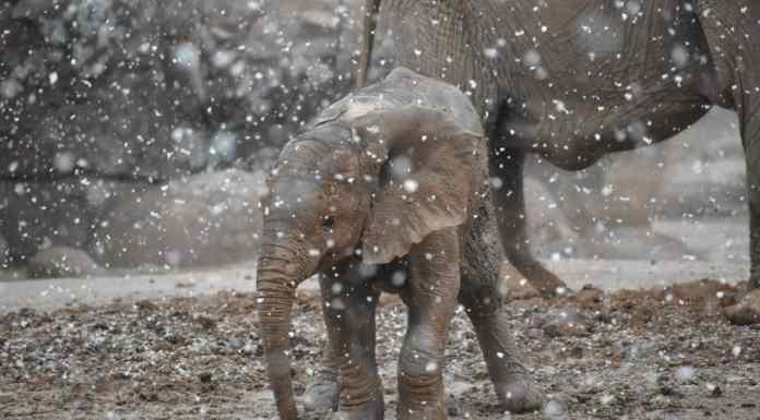 Baby elephant experiences snow