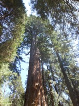 Southern CA, Sequoias 043 (960x1280)