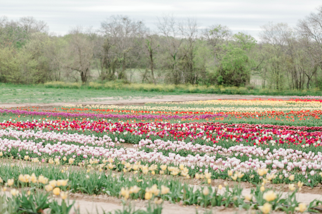 Poston Gardens Tulip Farm | read more at happilythehicks.com
