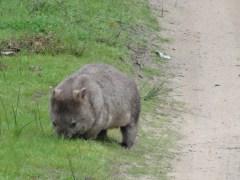 Un des nombreux animaux que je rencontre, un WOMBAT