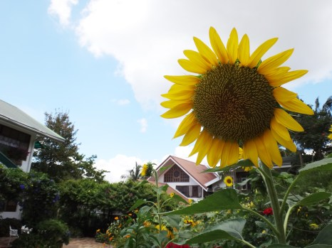 How big can a sunflower gets?