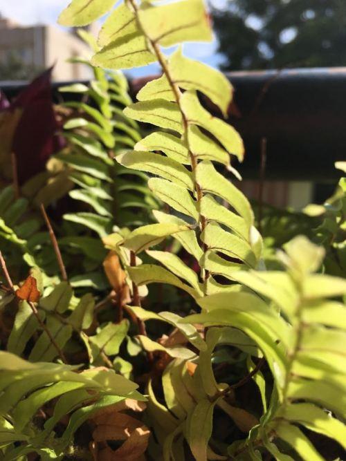 The evergreen fern