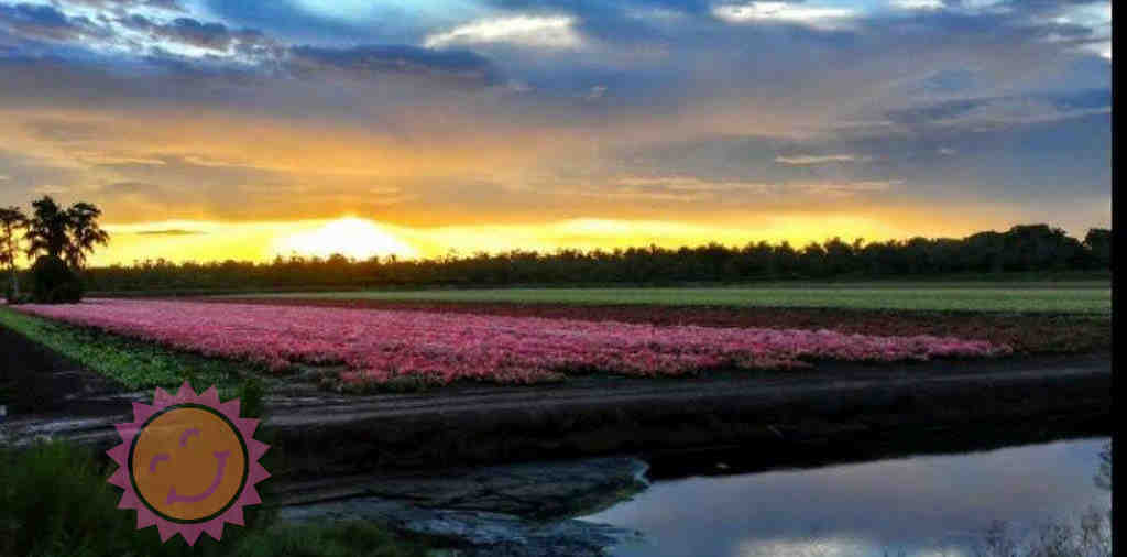 Happiness Farms Caladium Fields at Sunset