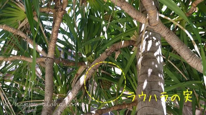 ラウハラの木