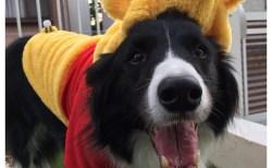 愛犬Jの犬服 その3 「プーさん」