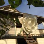ログハウスと薔薇