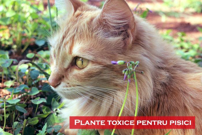 plante toxice pentru pisici