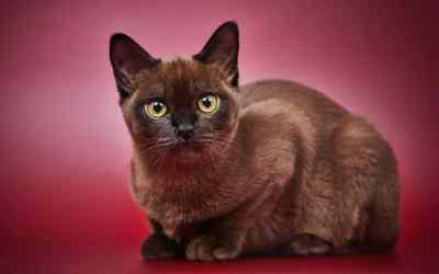 Die Burma-Katze