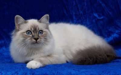 Die Birma-Katze