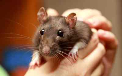 8 Haltungstipps für Ratten