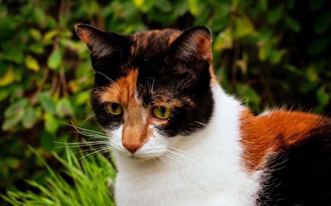 Das Geheimnis der Schildpatt-Katze