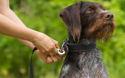 Haften Coronaviren auf Hundeleinen?