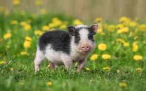 Minischweine als Haustier im Überblick