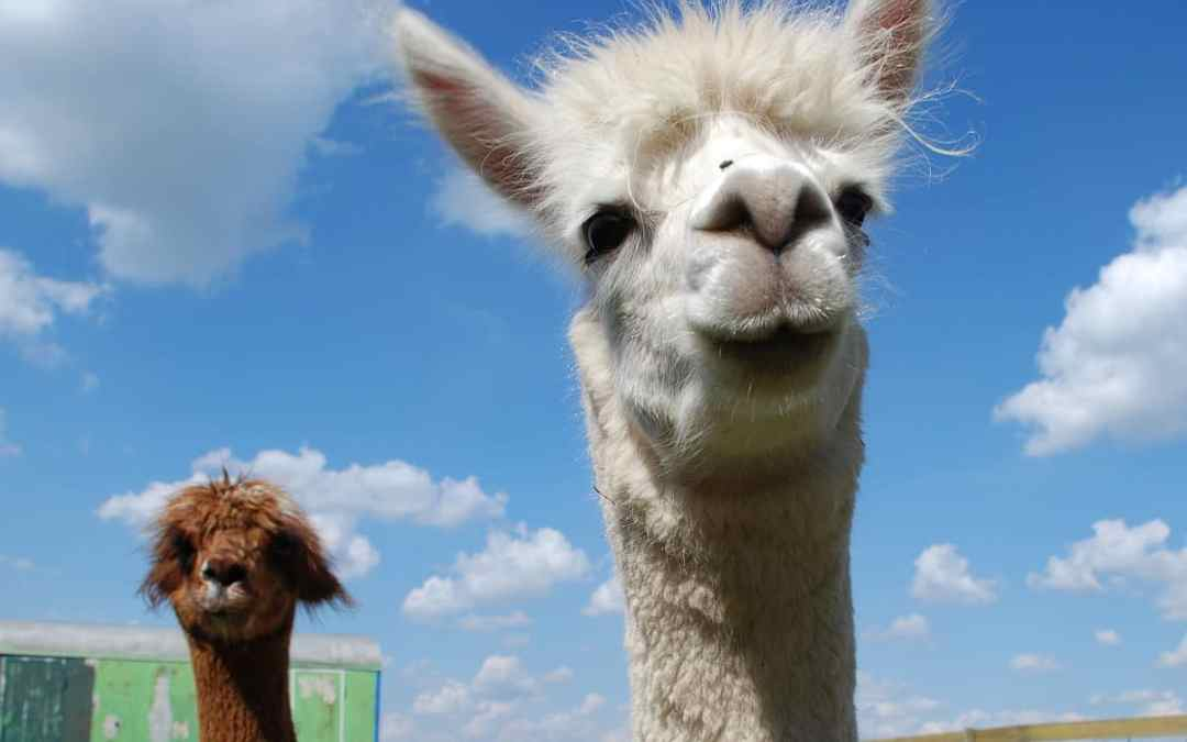 Tipps: So gelingt gute Alpaka-Haltung
