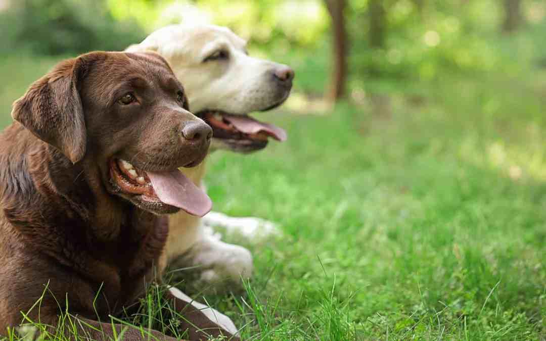 Labrador vs. Golden Retriever - Was ist der Unterschied?