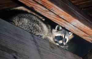 Tiere auf dem Dachboden – Was tun, wenn du Geräusche hörst