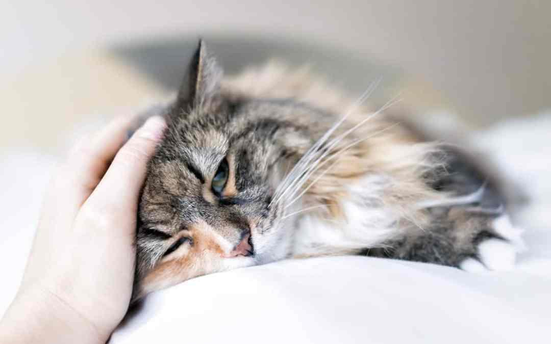 Krebs bei Katzen frühzeitig erkennen