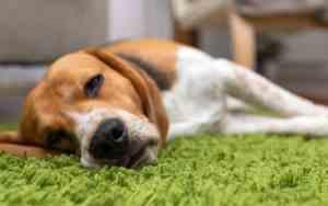 Fieber beim Hund richtig erkennen und behandeln