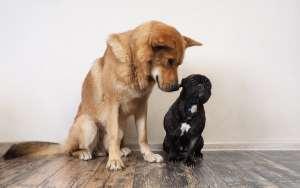 Sind kleine Hunde anspruchsloser als große Hunde?