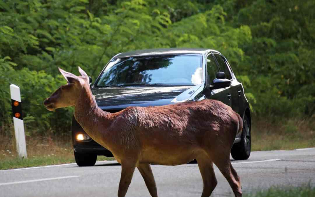 Achtung Autofahrer: Tiere auf der Straße