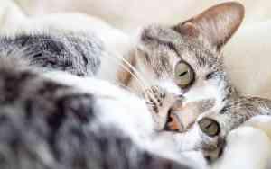 Diabetes bei der Katze