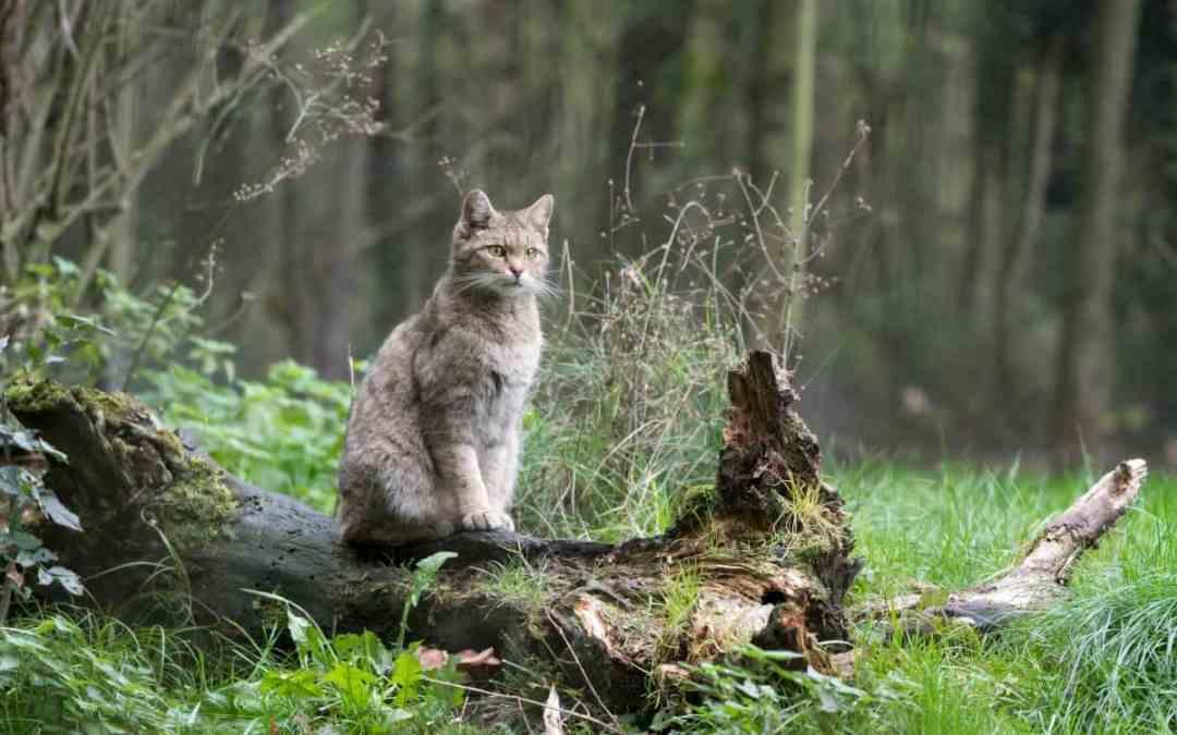 Die Wildkatze kommt zurück