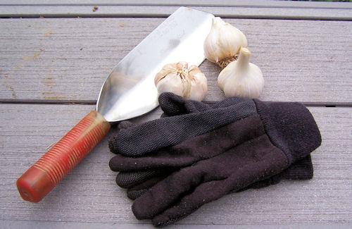 garlicplanting
