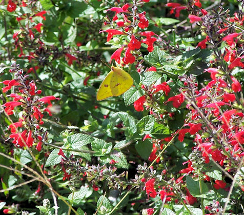 Sulphur butterfly on Salvia