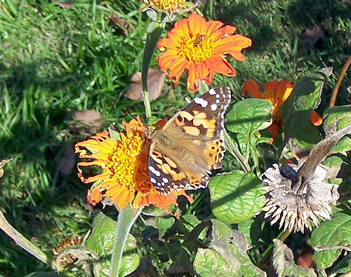 Painted Lady butterfly on well-worn Tithonia bloom