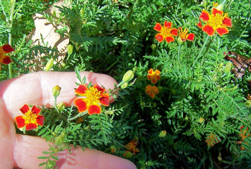 tiny blossoms of Marigold