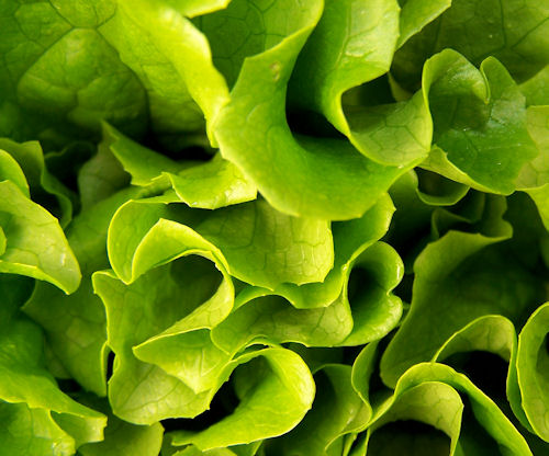 Tropicana Lettuce leaves