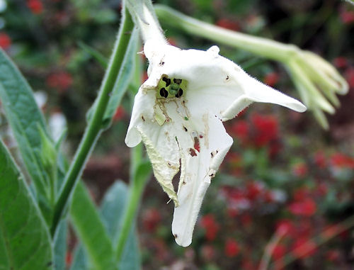 Nicotiana alata has seen better days