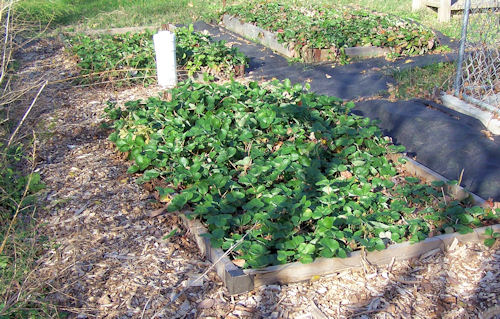 Strawberry beds need mulch between them