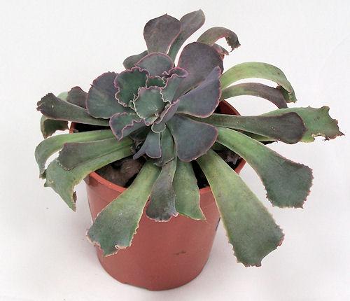 Echeveria shaviana cv.