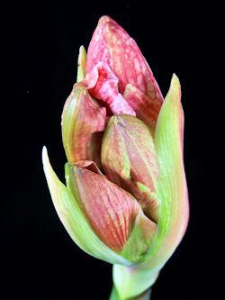 amaryllis2
