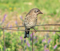 young bluebird with speckled breast, sitting on tomato cage waiting to be fed