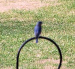 fuzzy photo of male bluebird