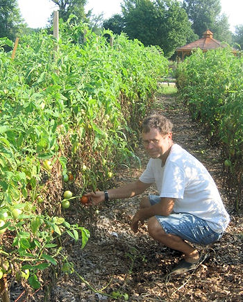 me harvesting one of the 250 tomato plants at the Victory Garden