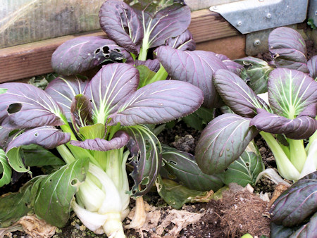 Red Choi pak choi in the greenhouse