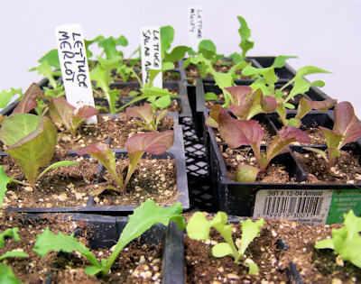 seedlings 5 days after transplanting (12 days old)