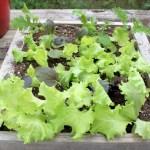 Mini Salad Box with Salad Greens