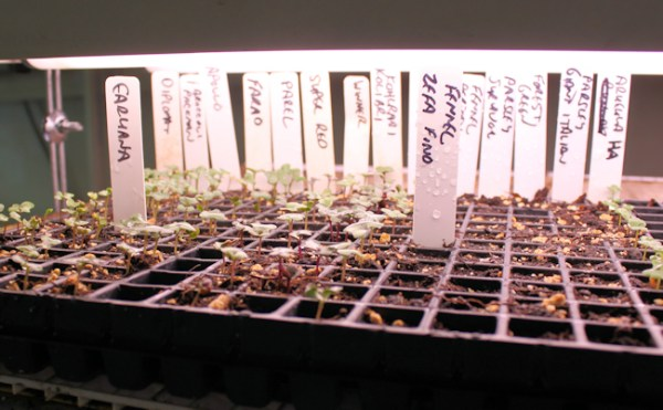 seedlings in 288 cell plug tray