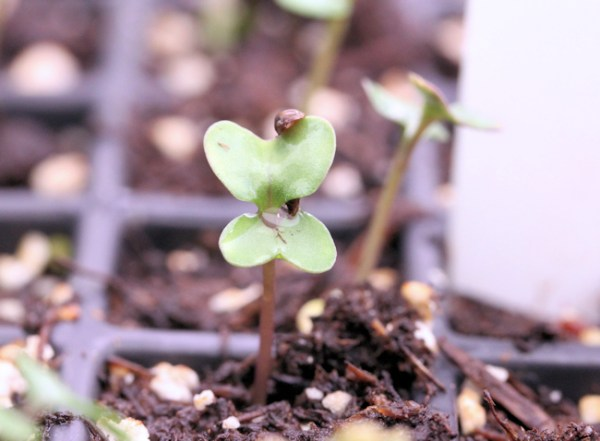 broccoli seedling, with seed shell still attached