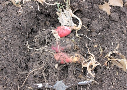 leftover radishes from underground